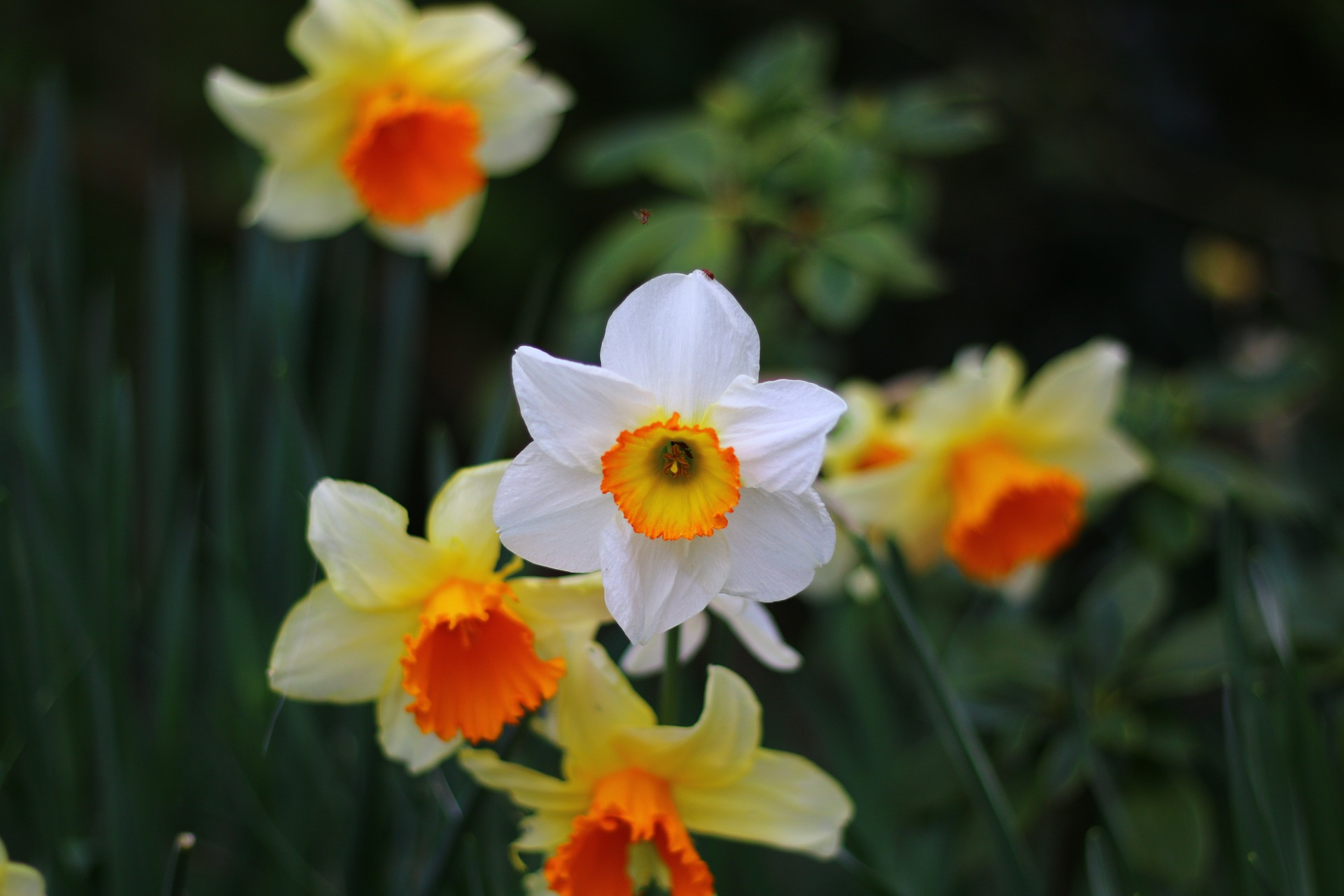 daffodil-1337620_1920